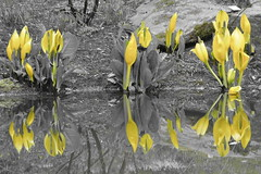 Standing out (benharwood1970) Tags: yellow reflections flora nikon sweden scandinavia botanicalgardens