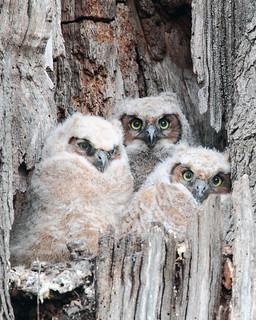 Hooters - Three Owlets