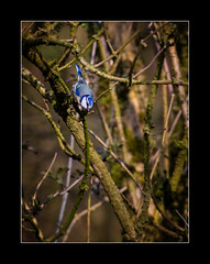 Blue tit (tkimages2011) Tags: blue trees tit dam bluetit sthelens merseyside carrmill