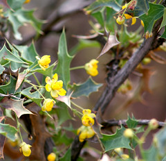 barberry (wmpe2000) Tags: flowers yellow sedona hike shrub cathedralrock 2015 berberisfremontii fremontsbarberry