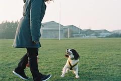 ready... (RyanNicholls) Tags: park dog film 35mm ball 50mm play kodak magic olympus tennis hour spaniel analogue portra zuiko active