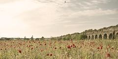 Come una guerra la primavera (Anit@_B) Tags: rome spring swallow parcodegliacquedotti poppiesfield