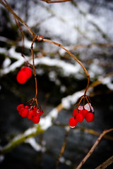 141227-IMG_4359 (matthiaskunz) Tags: winter red snow landscape berry tbingen ammertal