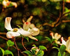 Dogwood Flower (Kuby!) Tags: park plant flower tree lens nikon outdoor mo missouri april springfield dogwood d300 kuby 2015 ldr 18200mm kubitschek easyhdr