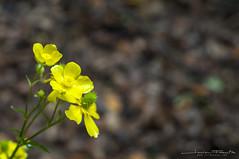 Lonely (Javier F. G.) Tags: flower planta yellow flor amarillo vida solo tenerife lonely islascanarias