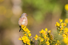 Evening Linnet-2 (Andrew Haynes Wildlife Images) Tags: flower bird nature yellow bokeh gorse