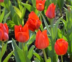 Red tulips at Oslo Børs (brigitte.watz) Tags: flowers plant flower tulips outdoor flowerbed tulip flowercluster