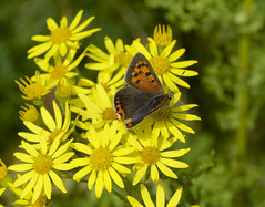 Small Copper (dangerousdavecarper) Tags: uk flowers yellow butterfly insect wildlife small copper