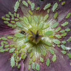 Worshipping Hell (ebore) (markhortonphotography) Tags: macro insect worship hell surrey devil hellebore identification aphid unidentified englefieldgreen worshippers markhortonphotography thatmacroguy