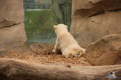 Eisbr Lilli im Zoo Bremerhaven 30.04.2016 Teil 2  25 (Fruehlingsstern) Tags: sunset sonnenuntergang polarbear lloyd lili bremerhaven zooammeer valeska eisbr canoneos750 tamron16300