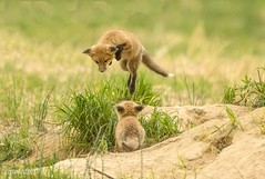 Watch me bro (catoledo) Tags: playing wildlife kits redfox 2016 bombayhookwildlifepreserve