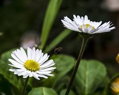 Pratolina (Bellis perennis) con Episyrphus Balteatus (Sergio Dini) Tags: lumix bellisperennis episyrphusbalteatus margheritina pratolina gx1 pratolinacomune lumixgx1 sergiodini