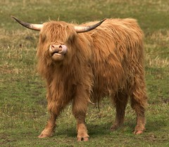 Hi. Land Coo (richbriggs28. Love being a grandad :)) Tags: park scotland cattle highland national loch lomond trossachs the richbriggs28