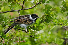 Reed Bunting (Tim Melling) Tags: west male reed yorkshire bunting emberiza schoeniclus timmelling
