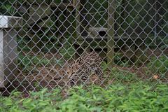 IMG_8244 (whereisjulie?) Tags: rescue tiger lion carolina cougar ocelot serval caracal kinkajou