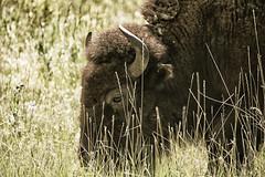 IMG_3617 (Doug @ Lost River Photography) Tags: animals bison bufflo