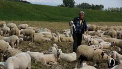 Gestione (lincerosso) Tags: primavera bellezza agnello pastore musiledipiave gregge armonia transumanza mestieriantichi fiumepiave
