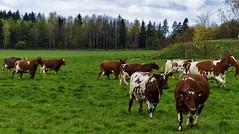 Happy Cows (ri Sa) Tags: trees field grass animals finland helsinki cows cloudy pasture viikki