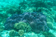 Coral in The Lagoon, Lord Howe Is (NettyA) Tags: camera water coral purple australia clear nsw housing day7 unescoworldheritage lordhoweisland thelagoon 2016 lhi resistant ewamarine sonya6000 janetteasche lordhoweforclimate