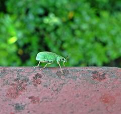Am I Weevil? (Bricheno) Tags: macro bug insect scotland glasgow escocia szkocja schottland weevil scozia cosse dalmarnock  esccia   bricheno scoia