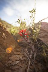 Indian Paintbrush (Shutter Theory) Tags: wildflower indianpaintbrush castilleja inyomountains inyocounty