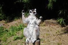Yoga (Hugo von Schreck) Tags: animal outdoor katta lemurcatta yourbestoftoday tamron28300mmf3563divcpzda010 canoneos5dsr hugovonschreck