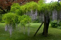 wisteria (Caerphilly Keeper -AKA Nick) Tags: home rain gardens wales south cardiff edwardian 1920 dyffryn stately