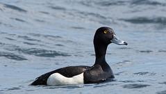 Tufted Duck - Aythya fuligula (aardwolf6886) Tags: duck tufted aythya fuligula tamron150600mm ilca77m2