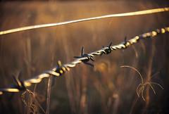 Barb wire fence line_c (gnarlydog) Tags: sunset detail reflection texture grass closeup rural bokeh barbwire goldenhour fenceline cinelens kodakanastigmat63mmf27 vintagelenseffect