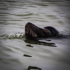 Sniffing out the fish (rvnix) Tags: canada mammal bc britishcolumbia sealion steveston snout