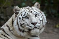Maxi @ Dierenpark Amersfoort 09-03-2016 (Maxime de Boer) Tags: cats white animals zoo big tiger tijger dieren maxi amersfoort witte dierentuin dierenpark katachtigen