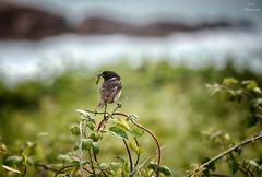 De caza... (Leo ) Tags: naturaleza corua comida alimento galicia vida pjaro caza captura arteixo tarabilla