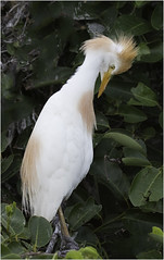 Cattle Egret ( Preening ) (billkominsky ) Tags: ngc naturethroughthelens