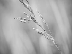 Dans la prairie (steph20_2) Tags: bw white black macro monochrome closeup insect lumix noir noiretblanc ngc panasonic monochrom blanc 45mm insecte m43 gh3 skanchelli