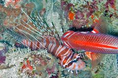 Lion fish (3scapePhotos) Tags: africa tanzania animal animals continent diving fish indian island lion lionfish ocean safari scuba tropical underwater zanzibar