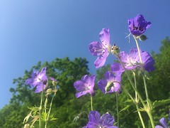Blhende Wiesen 2.0 (Blende2,8) Tags: wiese blume geraniumpratense wiesenstorchenschnabel