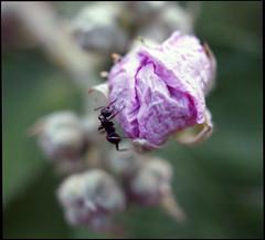 la petite fourmis (LUDOVIC. R) Tags: 10 olympus 25 micro 34 omd 1x1 carr fourmis 30mm