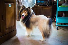 GTJ-2016-0626-26 (goteamjosh) Tags: dog pet sheltie taiwan  miaoli shetlandsheepdog   tongluo