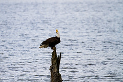 IMG_4098 (mechlerphotography) Tags: bald eagles comox