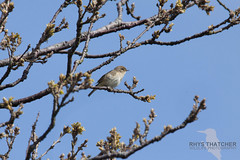 Willow Warbler (rhys.thatcher) Tags: bird aberystwyth british warbler willowwarbler