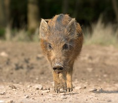 Wild Boar Piglet, Forest of Dean (KHR Images) Tags: wildboar piglet humbug susscrofa wild mammal forestofdean gloucestershire wildlife closeup nikon d7100 kevinrobson khrimages
