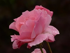 Weinende Rose (bratispixl) Tags: germany oberbayern spot tele insekten schrfentiefe waldrand chiemgau lichtwechsel traunreut fokussierung fz200 gartenwiese stadtrundweg bratispixl