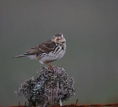 Meadow Pipit (themadbirdlady) Tags: food bird post meadowpipit passeriformes anthuspratensis motacillidae sheriffmuirnorthnn8303