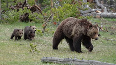 Trying to stay close (Hammerchewer) Tags: bear outdoor wildlife yellowstone cubs sow grizzlybear