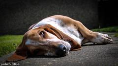 relax (mejud) Tags: dog sunshine garden hound boo basset bassethound