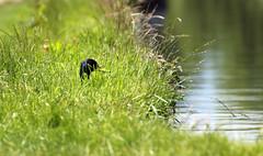 Drake hunkered down in the summer grasses... (petegatehouse) Tags: summer bird water canal head translucent grasses mallard drake hiding sunbathing hunker hunkereddown