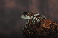 Tree Frog (6344) (Mark Abel) Tags: wildlife amphibians 7d markabel