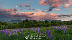 Lupine Moon (Bill Wakeley) Tags: flowers sunset moon mountains floral spring glow purple dusk newengland newhampshire sunsets franconia ethereal glowing pastures serene wildflowers pastoral wildflower springflowers purpleflower lupine warmlight purpleflowers sugarhill lupines northernnewengland springflower presidentialrange thewhitemountains sceniclandscape sceniclandscapes newenglandlandscape floweringlandscape billwakeley floweringlandscapes