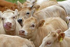 Herdentrieb - 2016 - 0022_Web (berni.radke) Tags: cows bovine khe rinder herde herdinstinct herdentrieb