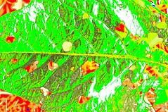 Durchlchertes Ampfer-Blatt (Rumex sp.); Bergenhusen, Stapelholm (14) (Chironius) Tags: stapelholm bergenhusen schleswigholstein deutschland germany allemagne alemania germania    ogie pomie szlezwigholsztyn niemcy pomienie caryophyllales nelkenartige polygonoideae polygonaceae knterichgewchse rumex